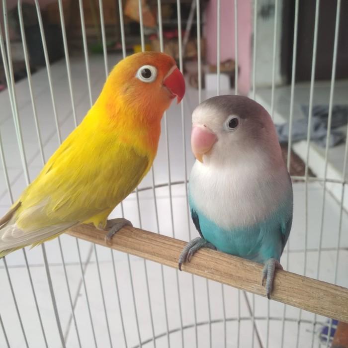 Download 510+  Gambar Burung Lovebird Pastel Euwing  Terbaik Gratis