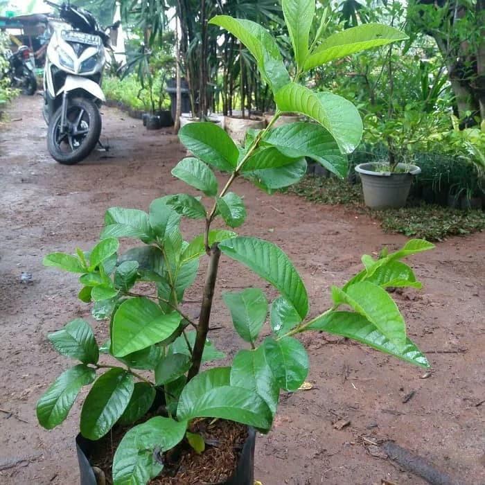 Jual Pohon Jambu Biji Merah Tanaman Jambu Kelutuk Kab Bogor Hari Flowertaman Tokopedia