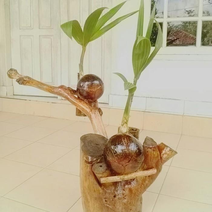 Jual Brrm Moge Cinta Bonsai Kelapa Dengan Batang Berbentuk Hati