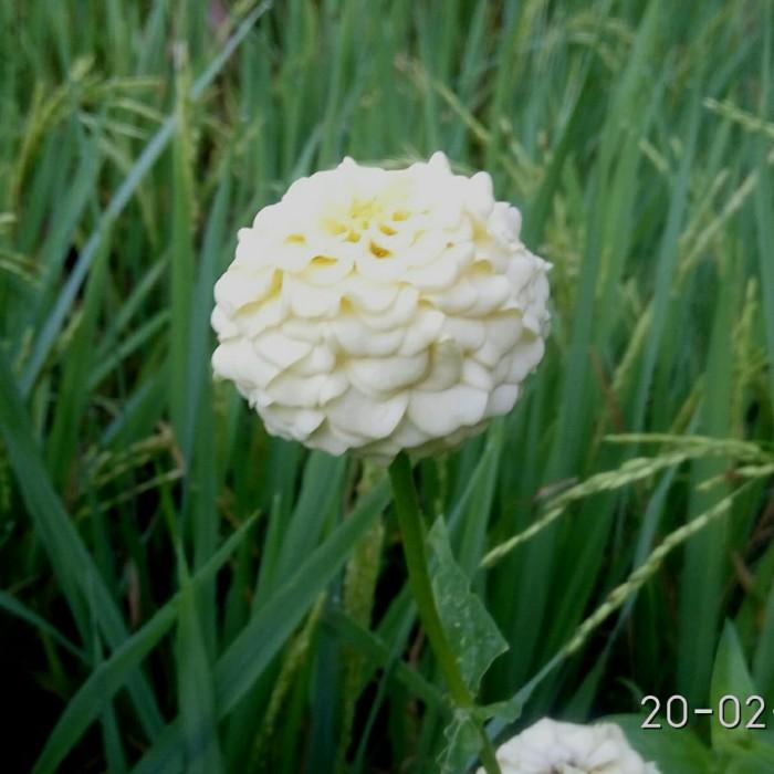 Jual Bunga Zinia Putih Tumpuk Kembang Kertas Putih Tumpuk Kab Gunungkidul Kata Sienergi Tokopedia