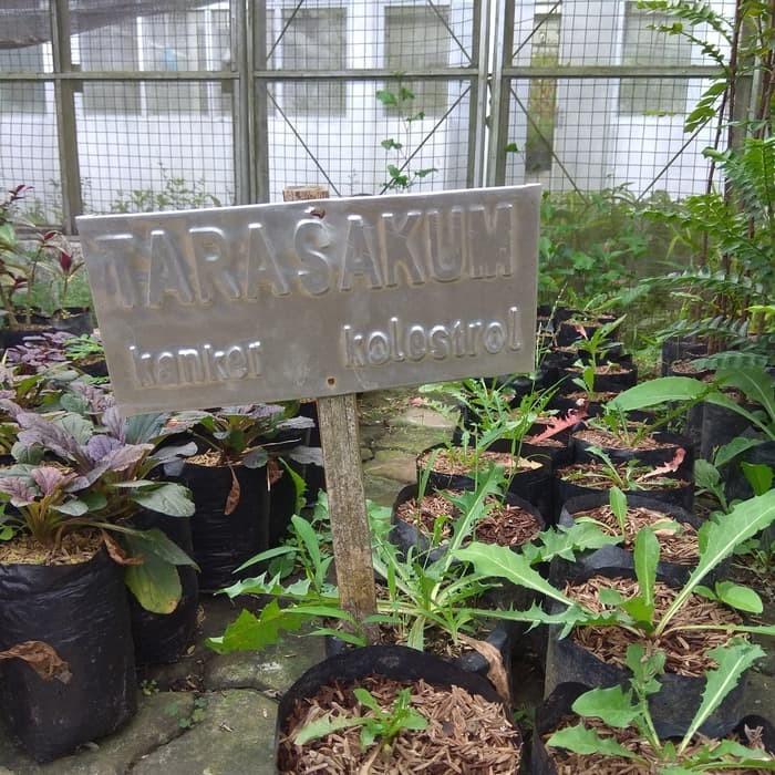 Tanaman Bibit Tanaman Dandelion Jombang Tarasakum