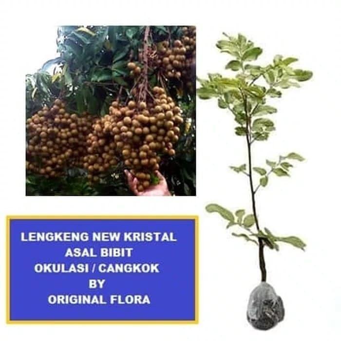harga Bibit kelengkeng new kristal pohon kelengkeng Tokopedia.com