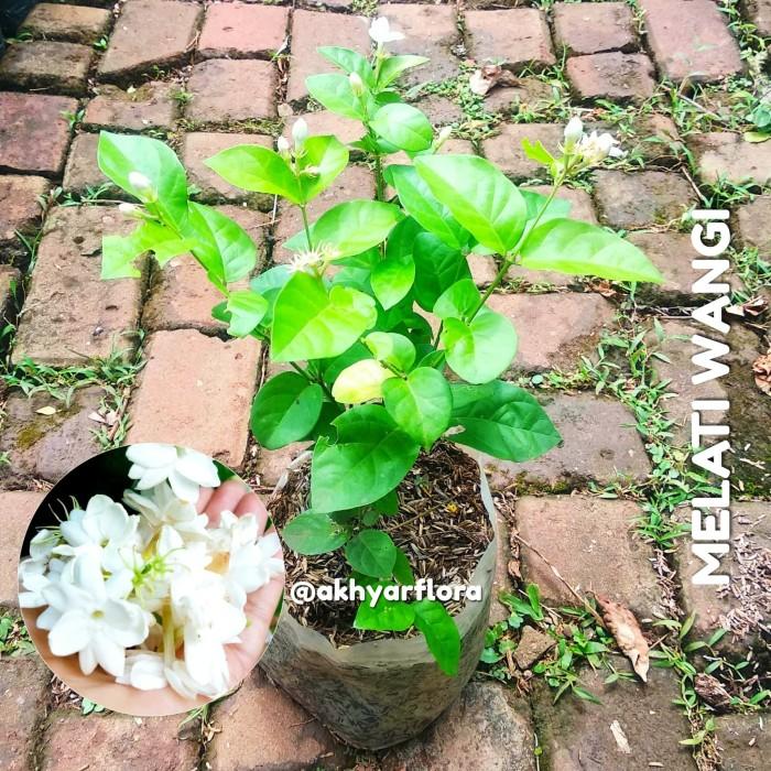 Foto Produk Bibit Tanaman Bunga Melati Wangi Melati Harum Bunga Melati Putih dari AKHYAR FLORA