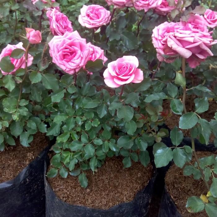 Jual Bunga Tanaman Mawar Rose Jumbo Size Pink Jakarta Timur Unique Smart Tokopedia