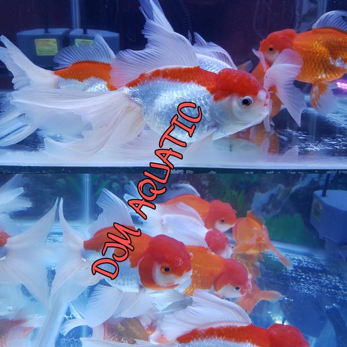 Jual Ikan Maskoki Mas Koki Red Cap Jumbo Bigsize Indukan Aquarium Aquascape Dki Jakarta Djm Aquatic Tokopedia