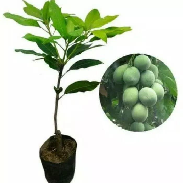 Foto Produk Bibit Mangga Harum Manis Pohon Mangga Bibit Buah Mangga Harum Manis dari ORIGINAL FLORA