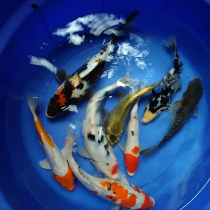 Jual Ikan Koi Campuran Panjang 25 35 Cm Harga Murah Meriah Kota Tangerang Cv Aginthea Tokopedia
