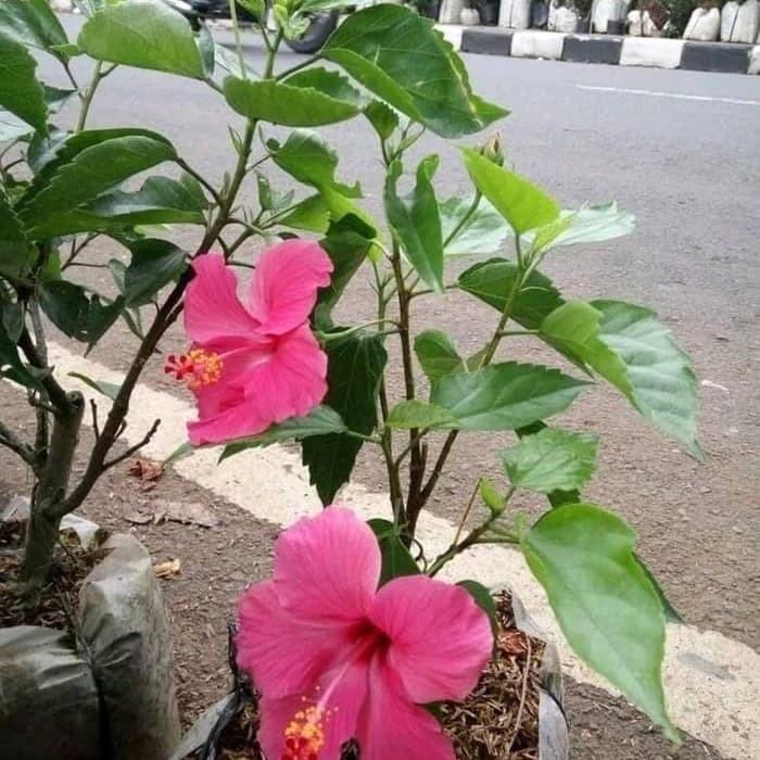 Jual Tanaman Hias Bunga Sepatu Tanaman Bunga Sepatu Bunga Kembang Sepatu Kab Bogor Indo Benih Tokopedia