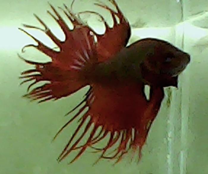 85+ Gambar Ikan Cupang Jenis Serit Gratis Terbaik