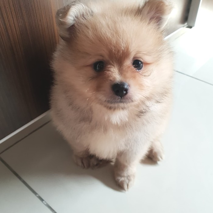 Jual Anjing Super Mini Pom Jakarta Utara Toko Gorjes Tokopedia