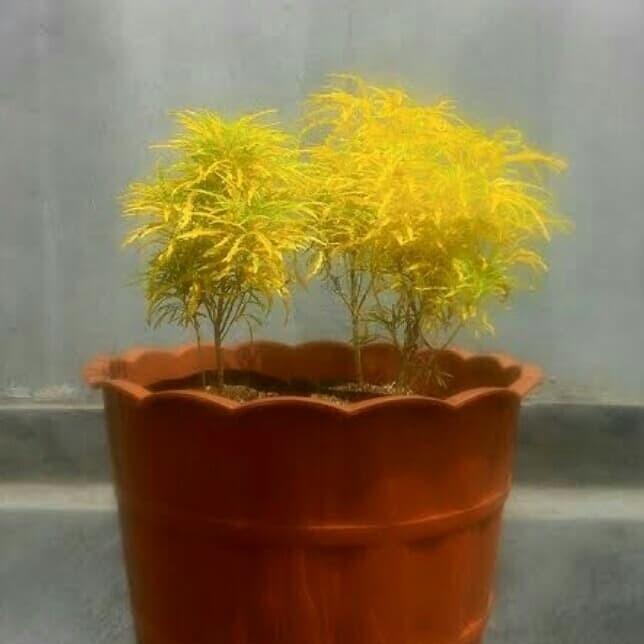 Jual Tanaman Hias Brokoli Kuning Tinggi 20cm Kota Tangerang Jaksoccomall Tokopedia
