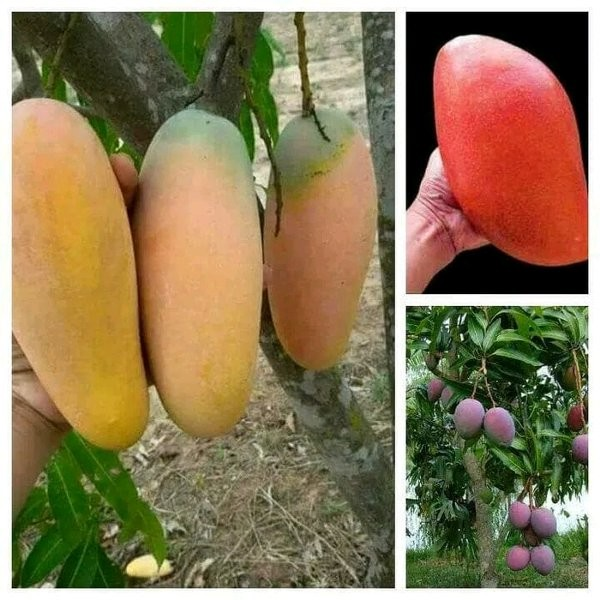 BIBIT TANAMAN Paket Bibit 10 Mangga Agrimania Garifta Irwin Chokanan