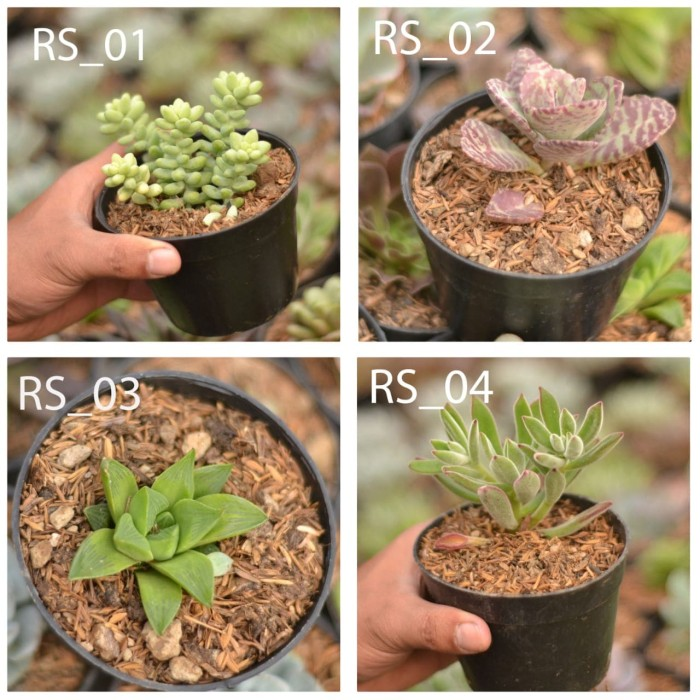 Jual Kaktus Mini Sekulen Lembang Kab Bandung Barat Warung Kaktus Tokopedia