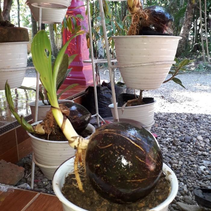 Jual Bonsai Kelapa Gading Mini Pilihan Ter Murah Kab Kebumen Ols Zaini Kebumen Tokopedia
