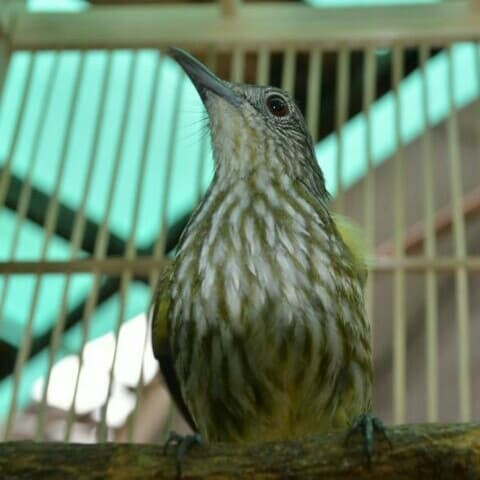Jual Burung Siri Siri Jakarta Pusat Rifkhi Muttakin Shope 85 Tokopedia