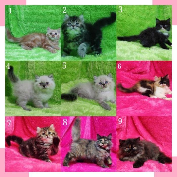 830 Koleksi Gambar Hewan Kucing Persia Terbaru