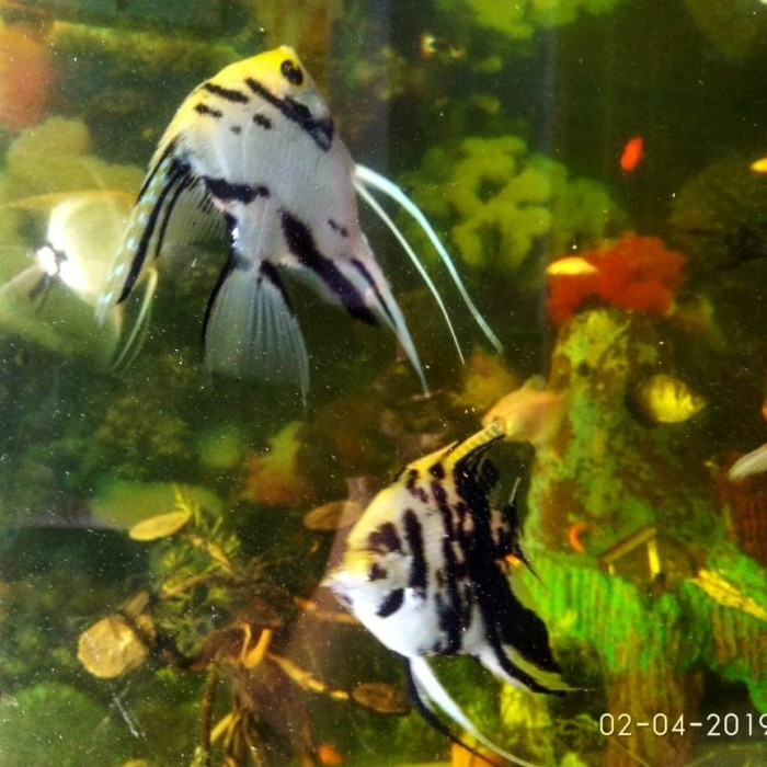 Jual Ikan Manfish 3 Color Ikan Manfish Marble Ikan Aquascape Size Besar Jakarta Timur Toserda Toko Serba Ada Tokopedia