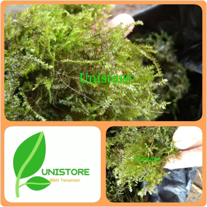 Jual Lumut Hidup Moss Aquascape Moss Forest Kab Pangandaran Uni Store Tokopedia