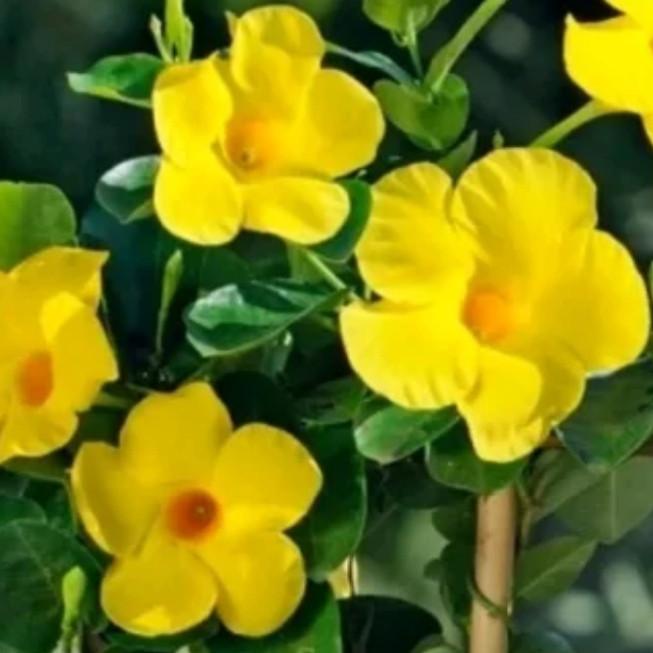 Jual Tanaman Hias Alamanda Bunga Kuning Tanaman Bunga Terompet Kuning Kab Bogor Arf Taman Tokopedia