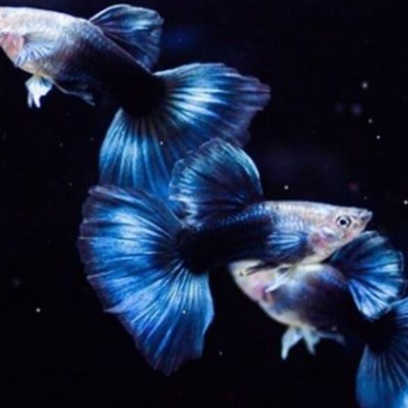 Jual Ikan Guppy Hb Blue Neon Kab Bogor Mr Aquamental Tokopedia