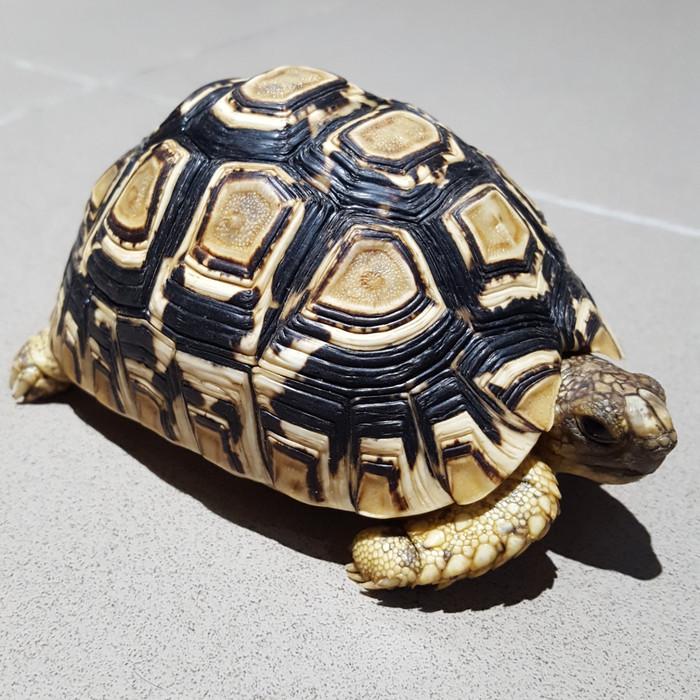 harga Kura-kura darat leopard babcocki pardalis tortoise Tokopedia.com