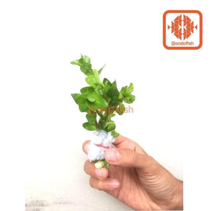 Foto Produk bacopa copa copa (Tanaman Aquascape) dari ONDOFISH