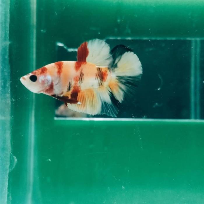 Jual Ikan Cupang Emerald Nemo Tiger Kota Bandung Cupang Hias Bandung Tokopedia