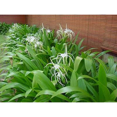 Jual Tanaman Crinum Asiaticum Bakung Kota Tangerang Selatan Kharisma Asri Tokopedia