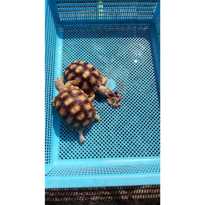 harga Sulcata/8.5cm /kura kura darat/tortoise/sulcata ukuran aman Tokopedia.com