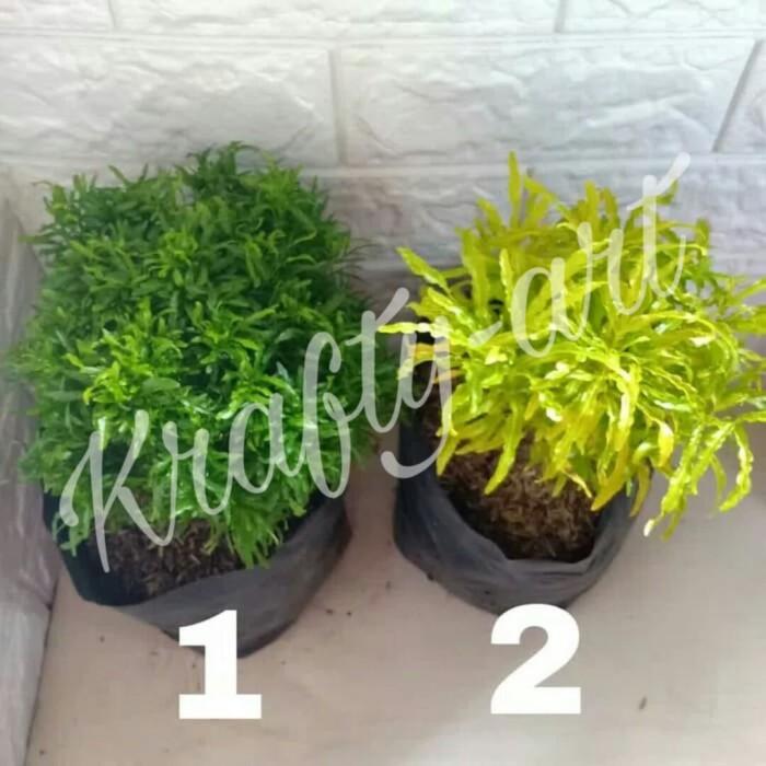 Jual Tanaman Brokoli Hijau Kuning Jakarta Utara Krafty Art Tokopedia