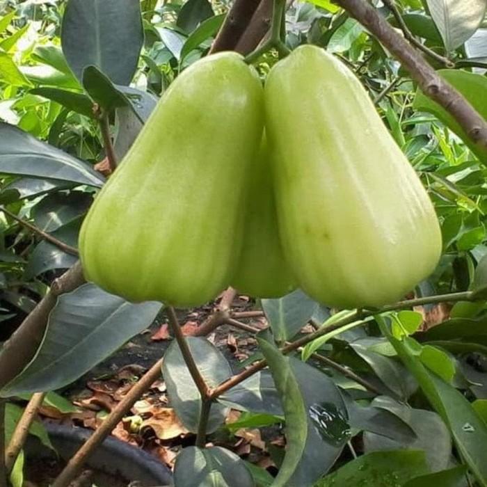Jual Pohon Jambu Madu Deli Bibit Pohon Jambu Dely Tanaman Buah Jambu Air Jakarta Barat Wanto Wandi Tokopedia
