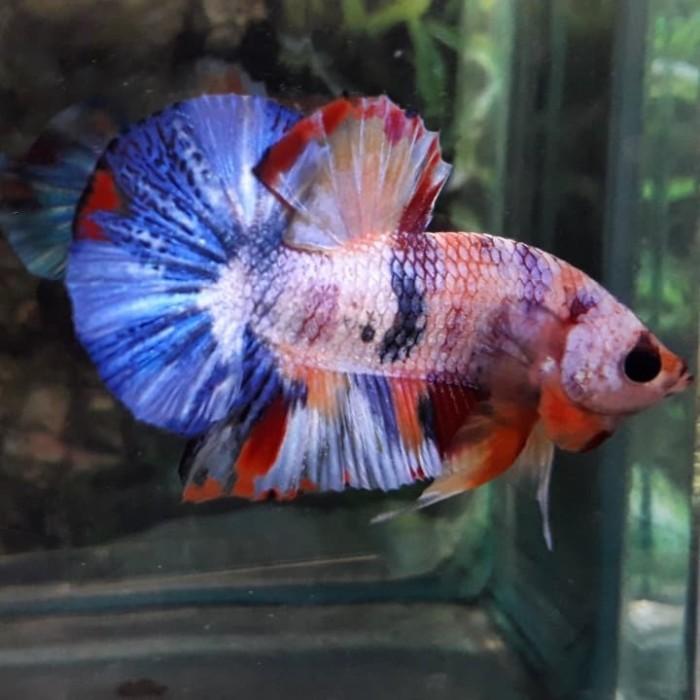 Jual Ikan Cupang Nemo Multi Color Kota Tangerang Bettatanser Tokopedia