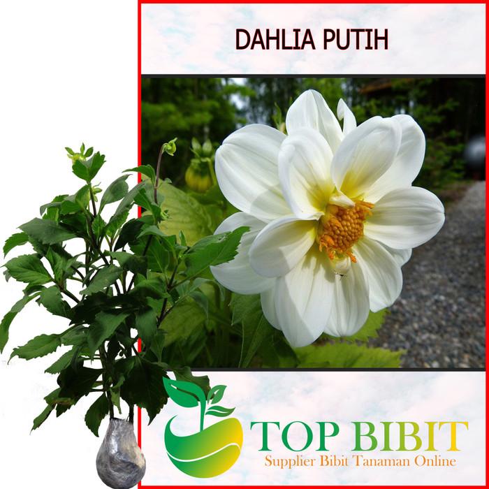 Jual Bibit Tanaman Hias Bunga Dahlia Putih Kota Batu Top Bibit