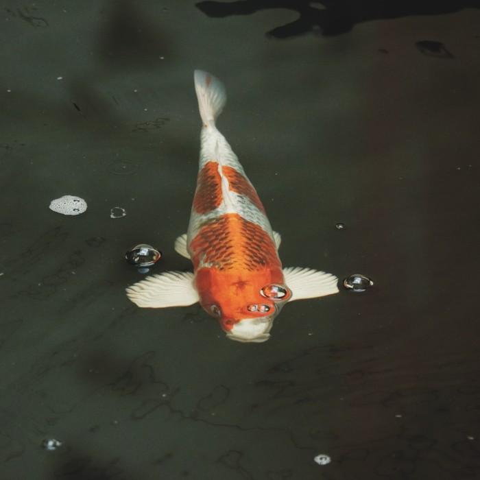Jual Koi Ikan Koi Kujaku F1 Koi Blitar Fish Kab Jember Fluffy Shoop Tokopedia