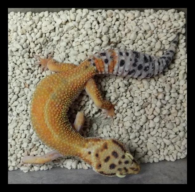 Jual Leopard Gecko     Normal / Tangerine / Snow Big Sale - Jakarta Pusat -  tommystoore | Tokopedia