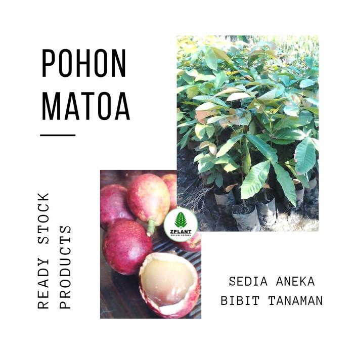 harga Bibit pohon matoa - buah mirip kelengkeng aroma durian - khas papua Tokopedia.com