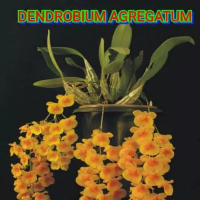 Anggrek Agregatum godean.web.id