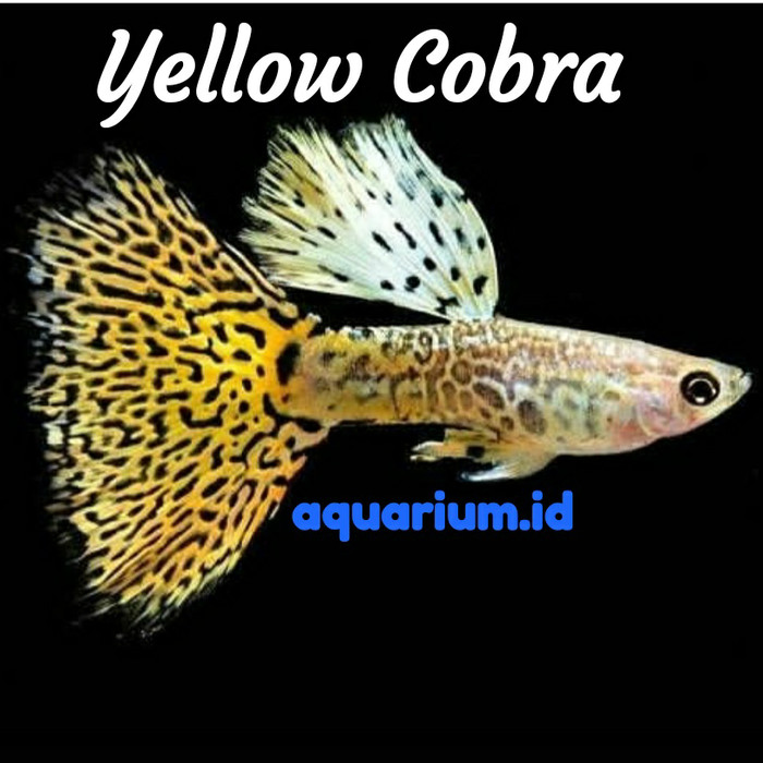 Jual Guppy Yellow Cobra Kota Depok Aquarium Id Tokopedia
