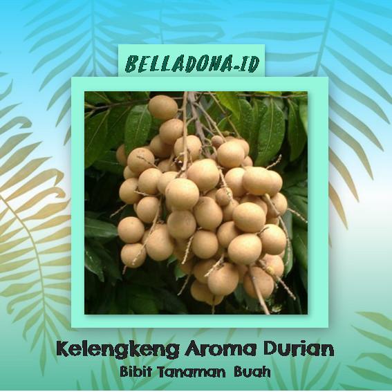 harga Bibit tanaman kelengkeng aroma durian 40cm Tokopedia.com