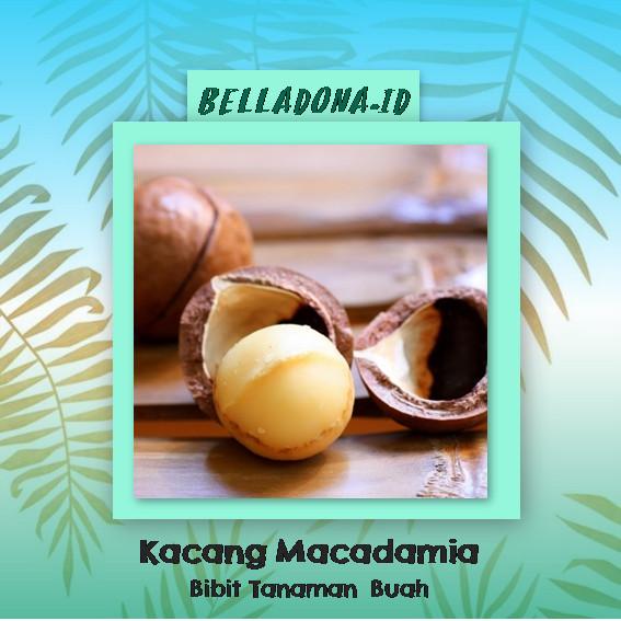 harga Bibit tanaman buah kacang macadamia 40cm Tokopedia.com