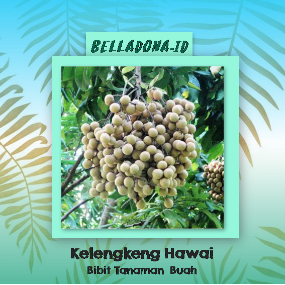 harga Bibit tanaman buah kelengkeng hawai 40cm Tokopedia.com