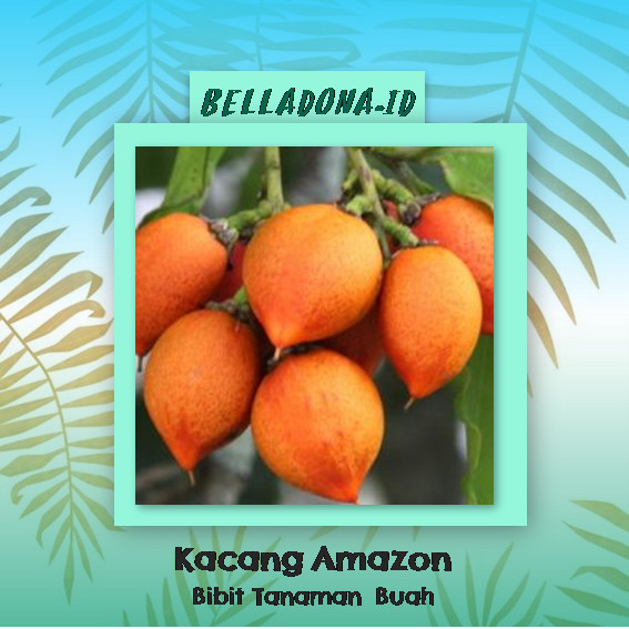 harga Bibit tanaman buah kacang amazon 40cm Tokopedia.com