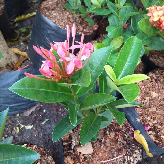 Jual Bunga Asoka Pink Daun Lebar Jakarta Timur Naura Florist Tokopedia