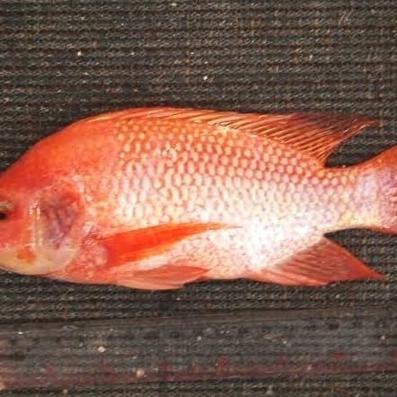 Download 64+ Gambar Wajah Ikan Nila HD Gratis