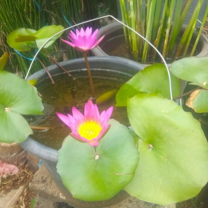 Jual Tanaman Teratai Lotus Air Kab Bogor Bimaquatic Tokopedia