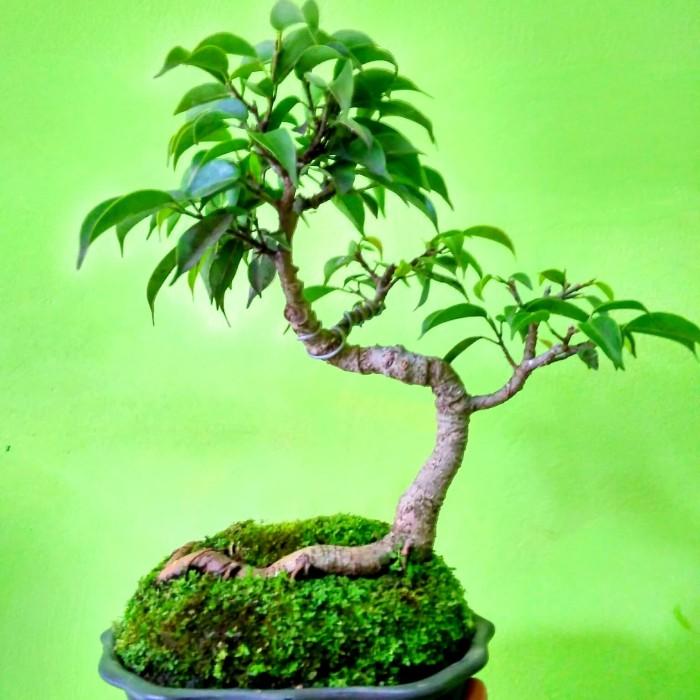 Jual Bonsai Mini Beringin Pilipine Atau Ficus Benjamina 1 Kab Cianjur Jual Bonsai Tokopedia