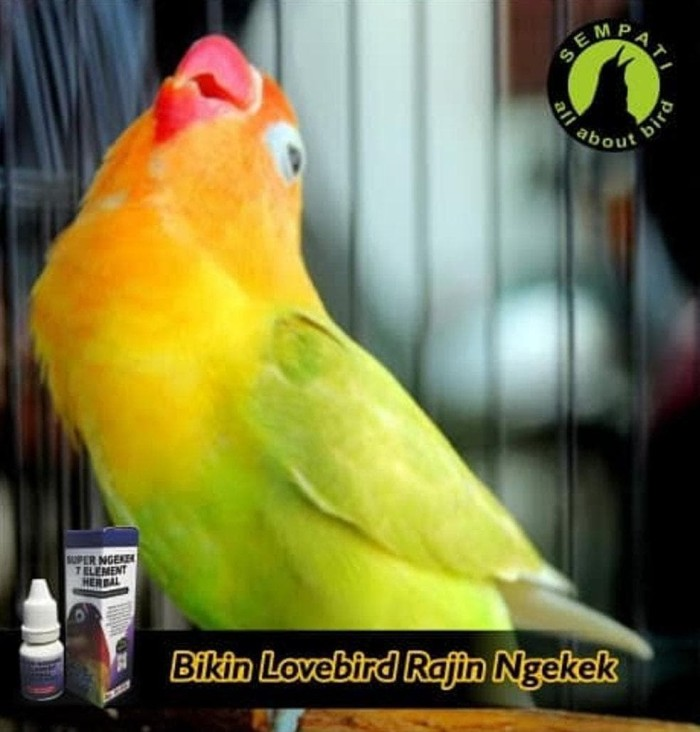 Download 670+  Gambar Burung Lovebird Yang Bagus HD  Free