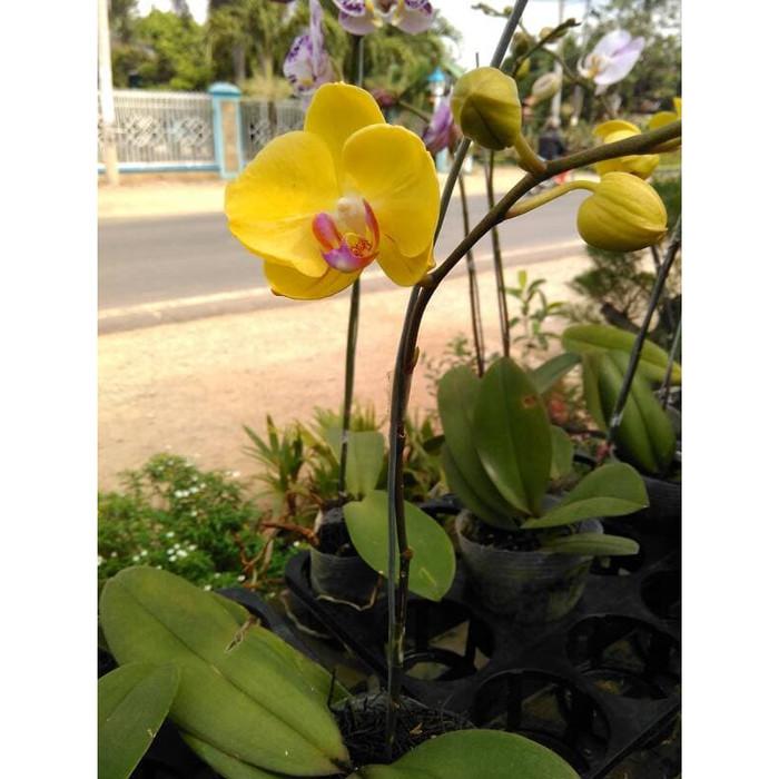 Jual Bunga Anggrek Bulan Kuning Jakarta Utara Toko Pasaran Tokopedia