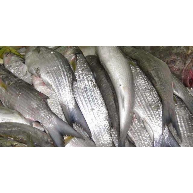 Download Kumpulan Gambar Ikan Belanak HD Gratis