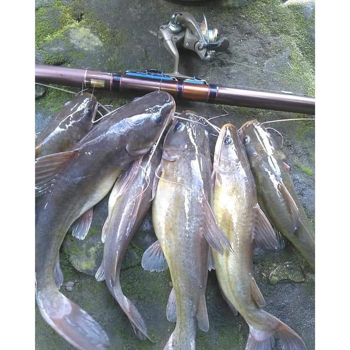 Unduh 77 Koleksi Gambar Ikan Baung Terbaru